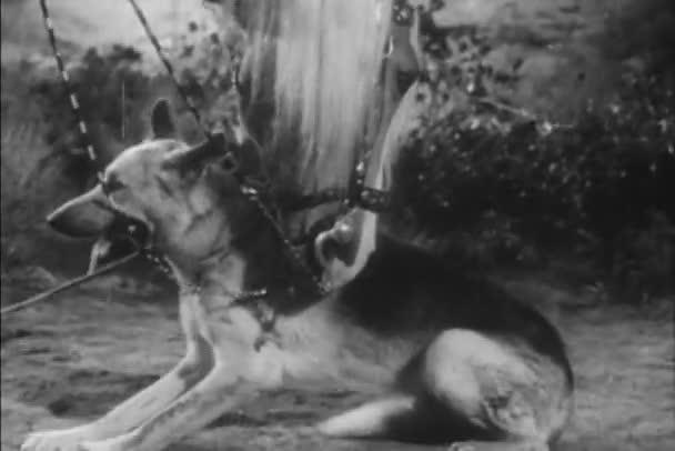 Koně přitulená německý ovčák převrácení, 1940s