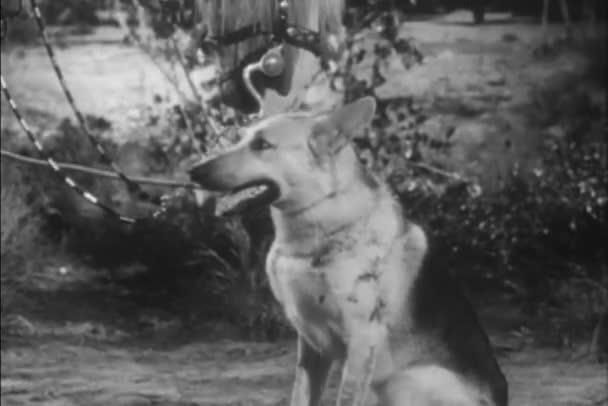 Detail koně lízání hlava německého ovčáka, 1940s