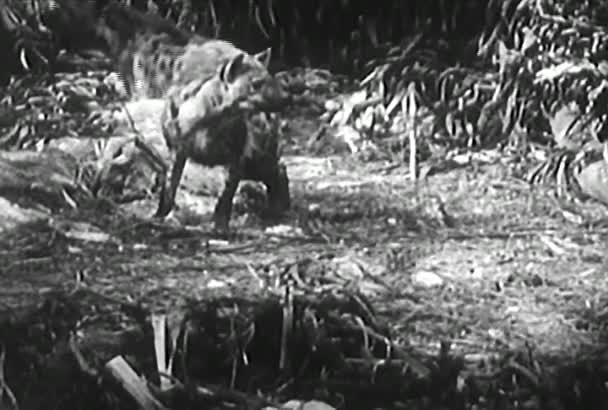 Tygr, hyena, python a lev v džungli montage, roku 1950