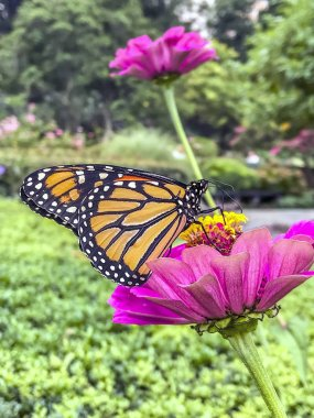 monarch butterfly (Danaus plexippus) is a milkweed butterfly (subfamily Danainae) in the family Nymphalidae