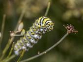 Papilio polyxenes, východní černé otakárek, americký otakárek nebo pastinák otakárek, je motýl našel velké části Severní Ameriky