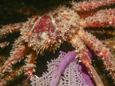 Mithrax spinosissimus, cannel cliinging crab at night on coral ree