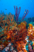 Fotografie Caribbean coral reef off the coast of the island of Bonaire