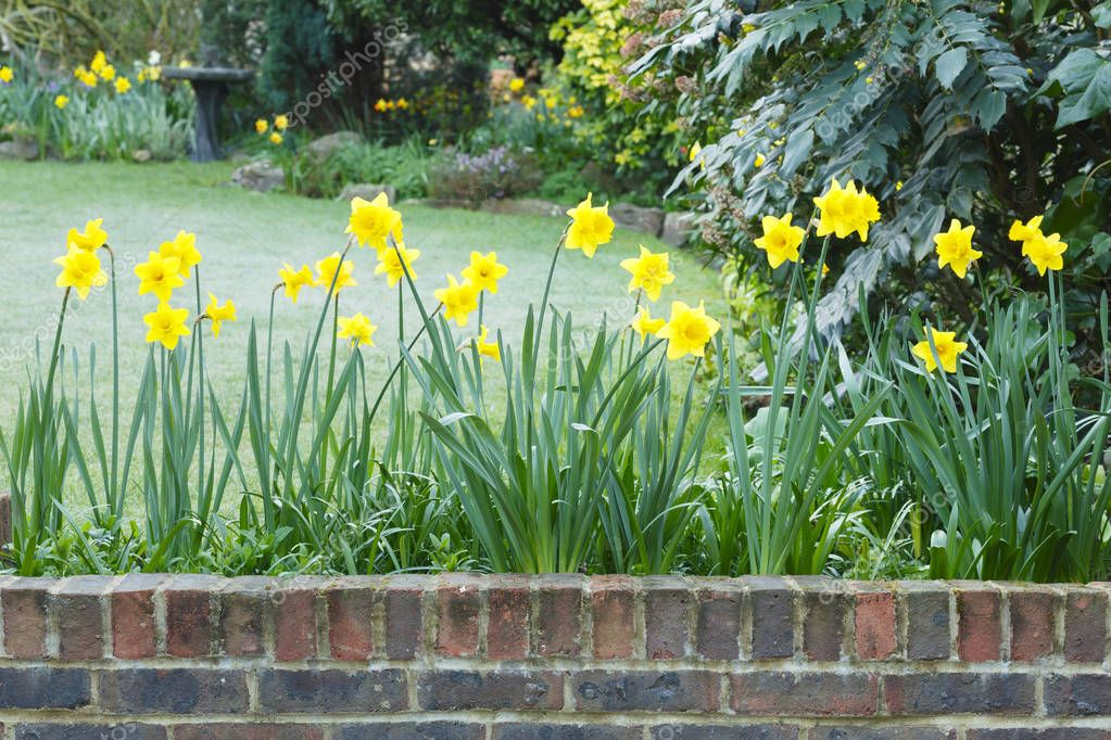 Yellow daffodils in a spring garden border in England