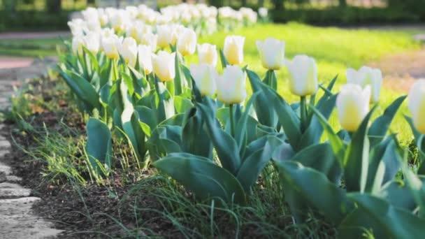 bílá tulipány zahrada sluneční světlo příroda