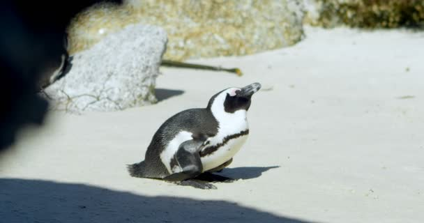 Woman taking photos of penguin with mobile phone at beach 4k