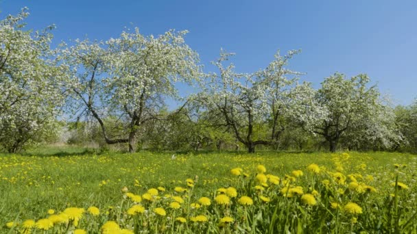 Video Aufnahme der blühenden Apfelbäume Frucht im Obstgarten im Frühling