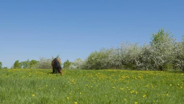 Video Aufnahme von Pferd weidet auf der grünen Wiese vor Hintergrund der blühenden Apfelbäumen