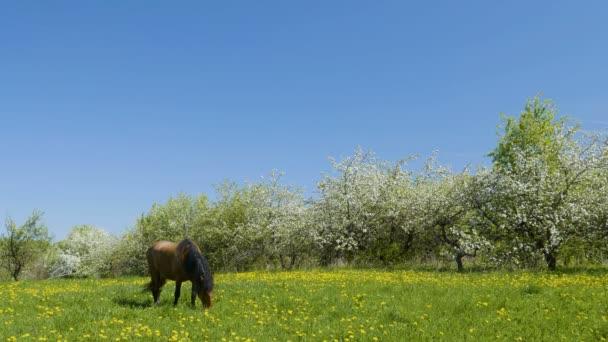 Video natočené koně pase na zelené louce kvetoucí jabloňový sad v pozadí
