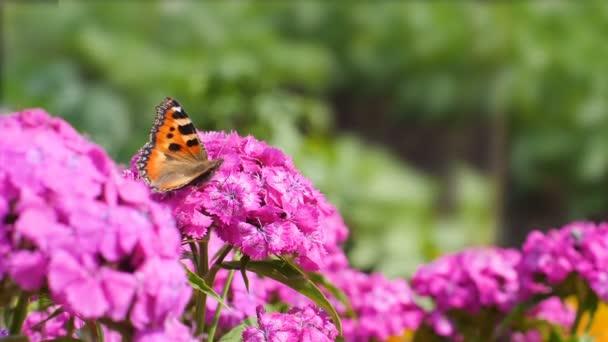 Lövés a pillangó pollinates rózsaszín virág, zöld háttér