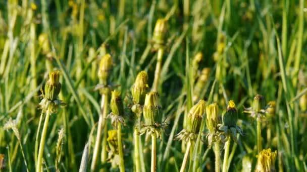 Čas odvykání kvetoucích pamllev časně ráno na jarním poli