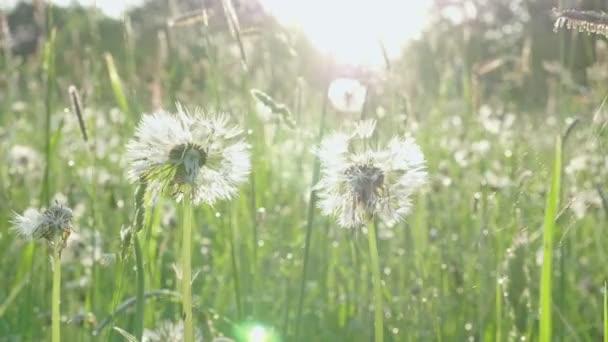 Természetes zöld fű és a régi Blowball a reggeli harmat csepp a tavaszi területen