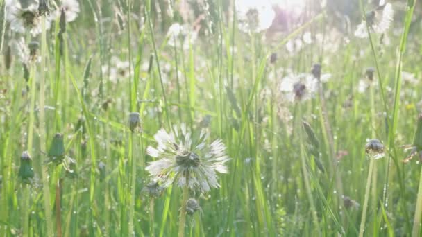 Natürliches grünes Gras und alter Blowball mit morgendlichen Tautropfen auf dem Frühlingsfeld