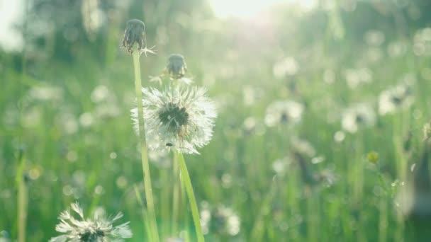 Přírodní zelená tráva a stará fouková koule s ranní kapky rosy na jarním poli