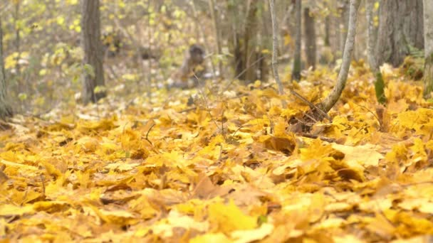 Slow motion shot of falling autumn leaves.Trees in autumnal forest