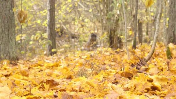 Zpomalený záběr padajících podzimních listů.Stromy v podzimním lese