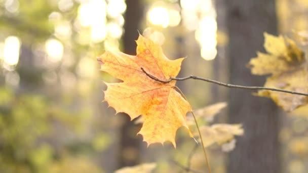 Snímek osamělého podzimního javorového listu na pozadí slunečního svitu. Koncept, pozadí, podzim, podzim, list, příroda, detailní záběr, les