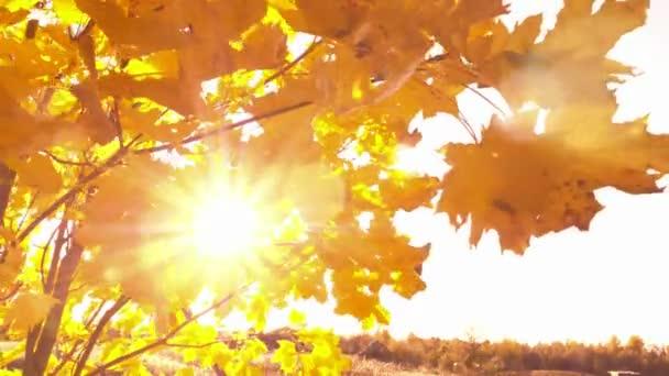 Západ slunce prozařuje zářivě žluté podzimní listí se slunečními erupcemi a slunečními paprsky