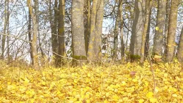Záběr padajících podzimních listů.Stromy v podzimním lese