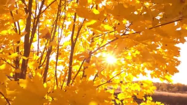 Sonnenuntergang durch leuchtend gelbe Herbstblätter mit Sonnenfackeln und Sonnenstrahlen
