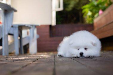 white japanese spitz puppy at home
