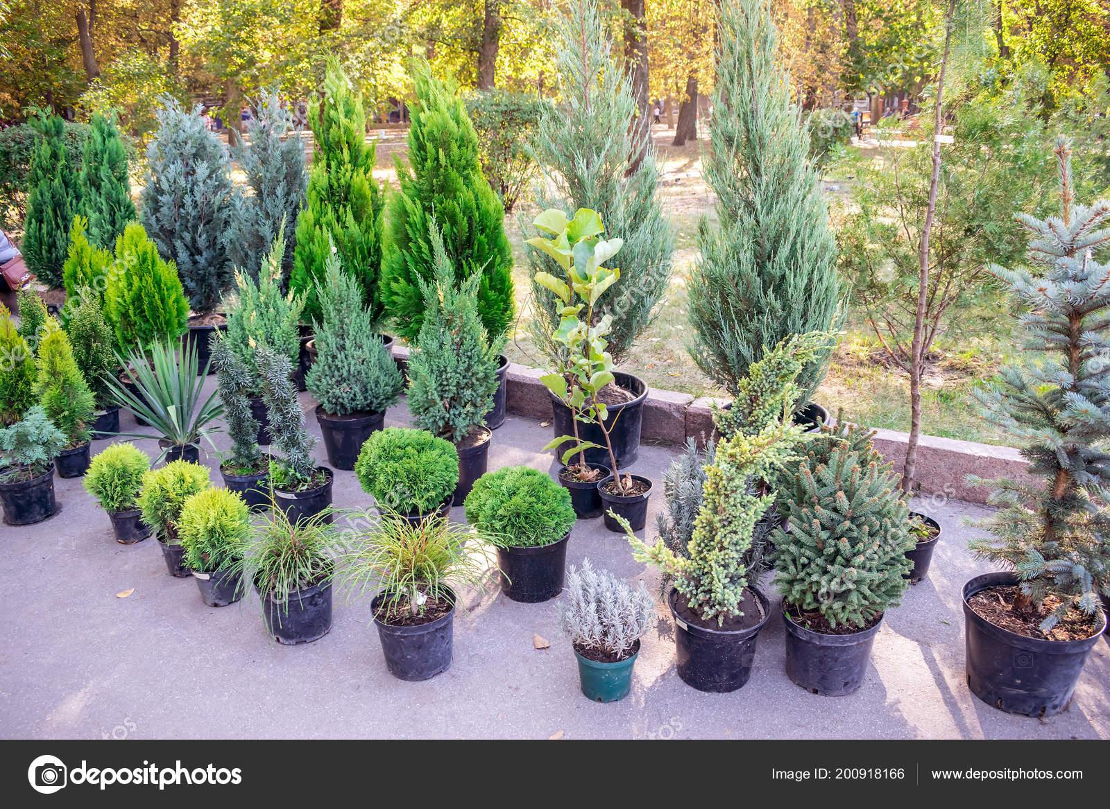 Etwas Neues genug Der Markt Der Pflanzen Für Den Garten Tannen Wacholder Thuja @MX_06