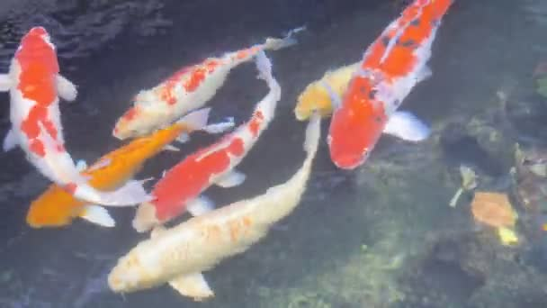 Uzavřete kapra, nebo Koi fishs pod vodou