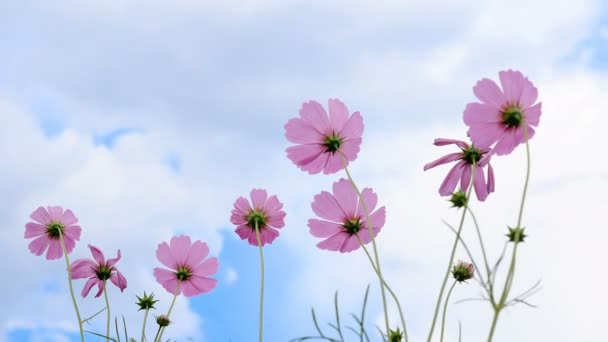 Angle up pink cosmos group to sky with the wind