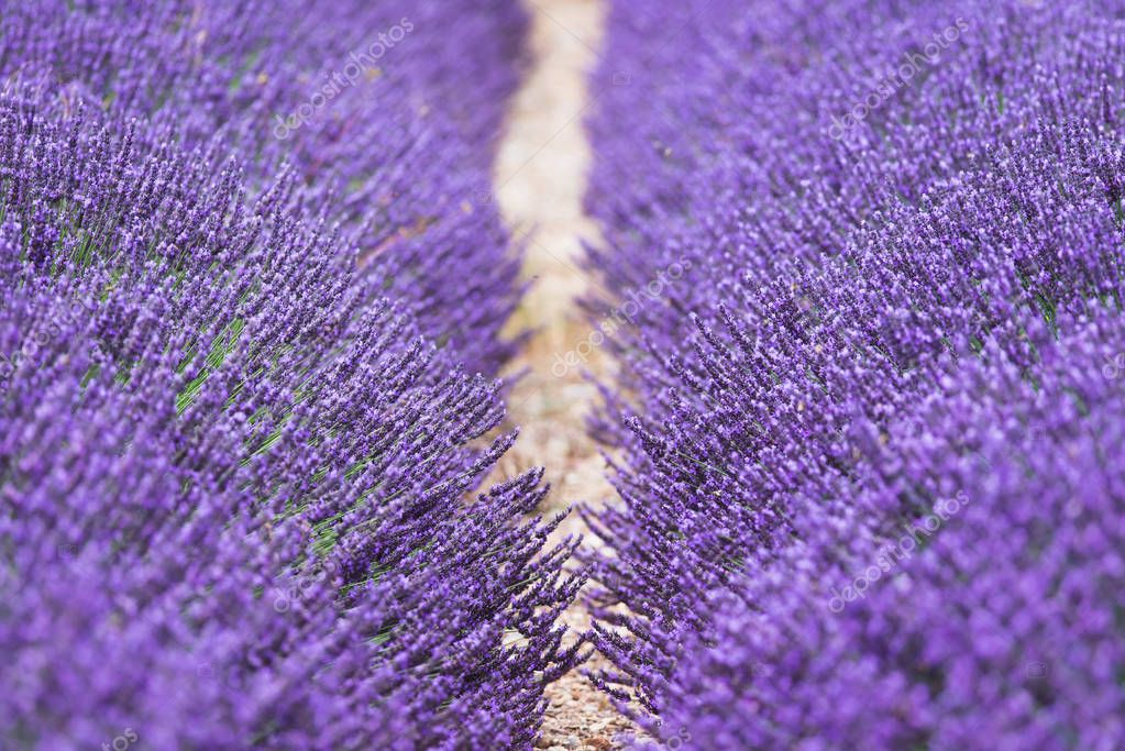 Purple flowers of lavender on the field in Provence France.