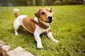Fotografie Jack Russell Terrier im kragen lächelnd auf Rasen
