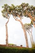 Fotografie High coniferous trees