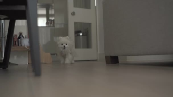 Small white dog coming closer