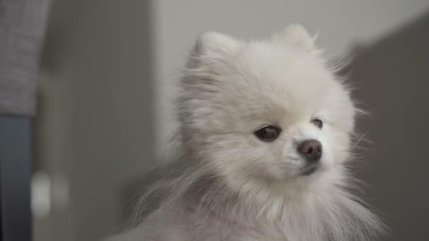 Malý bílý pes se dívá na kameru
