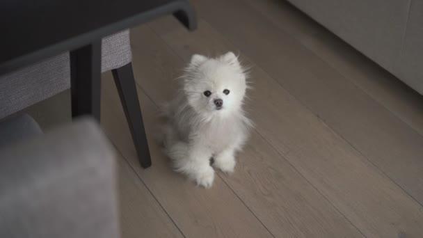 Malý bílý pes sedí na podlaze