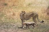 Cheetah és a kis kölyök a Masai Mara, Kenya, Afrika
