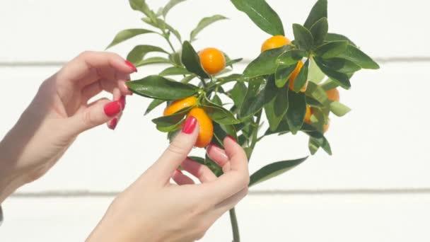 Womans hand touching kumquat berries and leaves