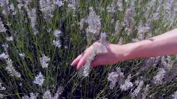 Womans hand picking lavender flowers