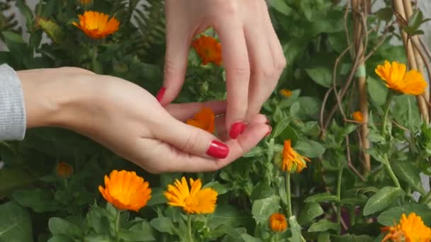 Picking calendula flower buds