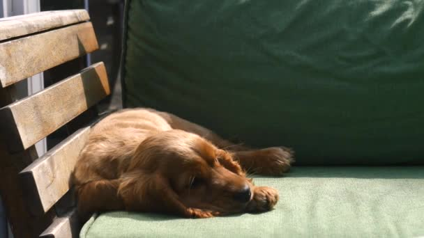 Štěňátko kokršpaněl spící na pohovce
