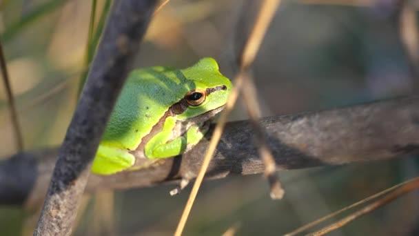 Europäischer Laubfrosch, hyla arborea, sitzend auf Grasstroh mit klarem grünen Hintergrund.
