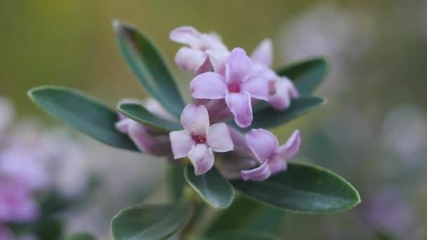 Květy divokého keře ve středomořském lese