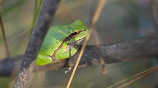 Európai levelibéka, Hyla Arborea, füves szalmán ülve, tiszta zöld háttérrel.