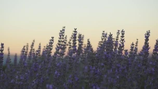 Levendula virágok közelsége naplementekor