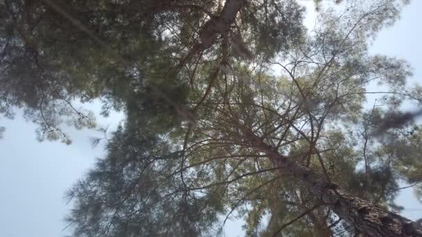 Alsó kilátás fenyőfák erdőben napsütésben.