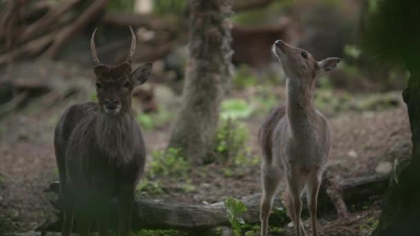 Slow motion shot of Sika deer (Cervus nippon)
