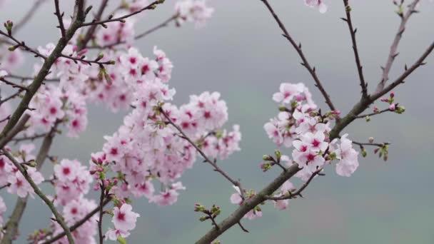 Zpomaleně snímek o třešňový květ nebo Sakura ve větru