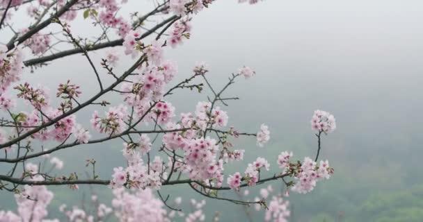 Třešňový květ nebo Sakura ve větru