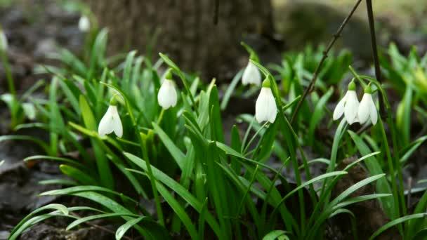 Hócseppekre érzékeny és fehér Galanthus caucasicus februárban növekszik