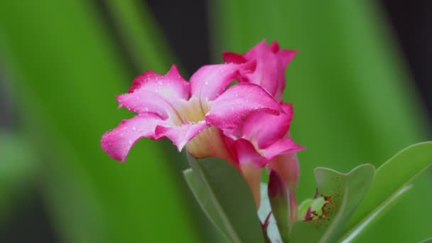 Droplets on Impala Lily or Pink Bignonia in backyard