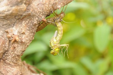 Geburt einer Libelle an einem Gartenteich
